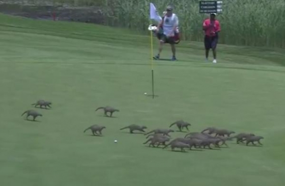 European Golf Tourney Interrupted By Horde of Mongooses
